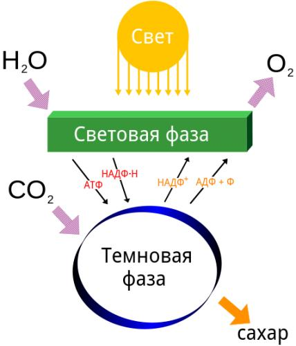 Simple_photosynthesis.png