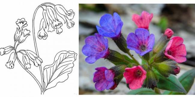 lungwort.png