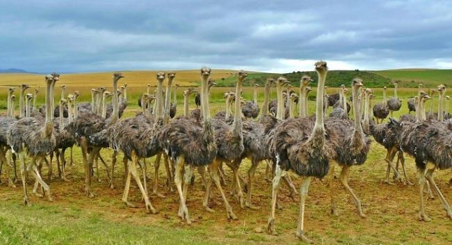 flock0of-ostriches-in-the-landscape-cke.jpg